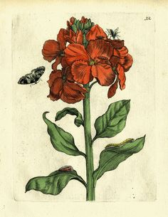 Antique Botanical Merian Print, giclee collection of large botanicals, framed in thin gold leaf frame or thin Italian black with gold lip. Made in USA