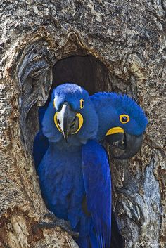 birds of a feather — hyacinth macaws  photo by rita barreto