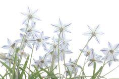 Tristagma uniflorum ( syn. Ipheion uniflorum) blooming Athens