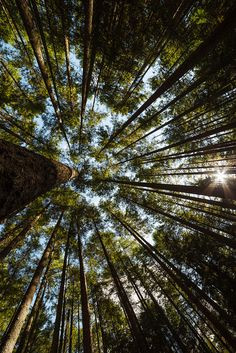 ~~Skyscrape | looking up through the trees, Tiger Mountain, Issaquah, Washington | by John Westrock~~