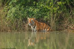 Location:  Tadoba-Andhari Tiger Reserve, Maharashtra State. India. Wildlife photographer Hemant Masurkar shared a wonderful image on http://photos.wildfact.com, a website community for wildlife photographers only. To enjoy the image click below link to view in full mode, to join the community, see many other wildlife photographs and follow wildlife photographers. http://photos.wildfact.com/image/888/teliya-queen-sonam  #wildlife #wildlifephotography #photography