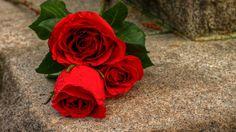 Download Rose Flower Background Images