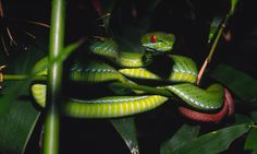 RUBY-EYED PIT VIPER (TRIMERESURUS RUBEUS)  This new species of snake called the ruby-eyed green pit viper was discovered in forests near Ho Chi Minh City in Vietnam.