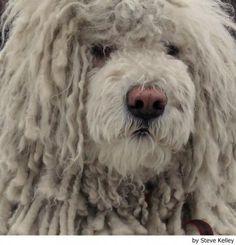 Hungarian Komondor / Hungarian Sheepdog / Mop Dog / Komondorok Love My Dog, Unique Dog Breeds, Rare Dog Breeds, Chien Komondor, Puli Dog Breed, Mop Dog, Dog Names Male, Hungarian Dog, Goofy Dog