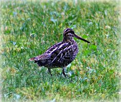 A Wilson's Snipe in My Front Yard in Juneau, Alaska a few days ago ~ What a treat ;)