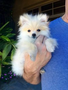 Pearl when we first got her at 12 weeks and only 1 lb!  #pomeranian #puppy
