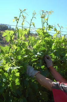 Ohne Pflege kein gesundes Lesegut: Im Weinberg von Tres Palacios/Chile entscheidet sich die Qualität des Weines. Reduzierter Ertrag sorgt für dichtere Weine. www.cwc.de