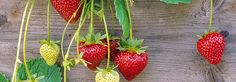 Veja aqui como plantar morango em casa, passo a passo! É fácil e gostoso!