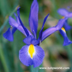 """This gorgeous iris is unmatched by its elegant presence in the garden. The silhouette of the Blue Diamond Dutch Iris bloom looks somewhat like a bird in flight, gently drifting above the rest of the garden. The 4"""" flowers emerge in late spring to early summer and stay in bloom for a period of 2 to 3 weeks. To lengthen the bloom time, plant bulbs in 10 to 14 day intervals in the fall. <br />"""