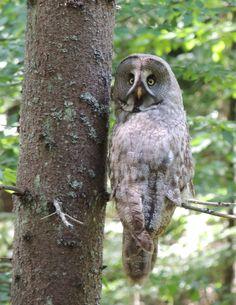 C... Great Grey Owl