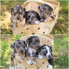 Catahoula Leopard Dog, Sasquatch Puppies #catahoulas #catahoulacur #catahoulaleoparddog #puppy #dog #LouisianaCatahoulaLeopardDog #HodDog #HuntingDog #CattleDog #SasquatchCatahoula Pet Dogs, Dogs And Puppies, Dog Cat, Hod Dog, Catahoula Cur, Leopard Dog, Large Dog Breeds, Animal Faces, Hunting Dogs
