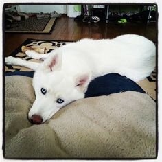 Working Group / Siberian Husky Yuki  / Vote here: https://www.facebook.com/photo.php?fbid=545839338799180=a.545357992180648.1073741827.235733609809756=3