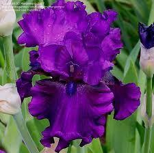 Beaded iris