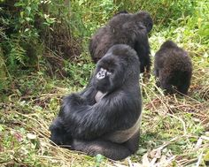 Mountain Gorillas, Ruanda