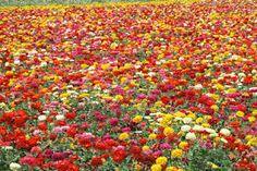 """Résultat de recherche d'images pour """"zinnias"""""""