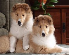 omg. i want two of these with bows around their necks...if my husband got me two collies i would cry like a baby