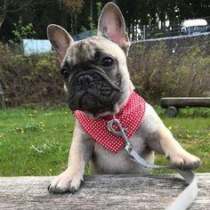 Mila the French Bulldog