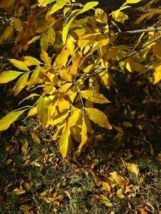 Лики природы. #15 Золотая гроздь осени.