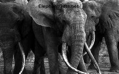 Photos: Endangered Elephants in the African Wilderness Funny Elephant, African Elephant, Elephant Gifts, Elephant Pictures, Elephants Photos, Endangered Elephants, Hunter Name, Kenya, Photography