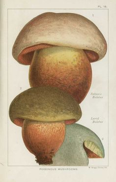 Poisonous Fungi: satanic lurid boletus