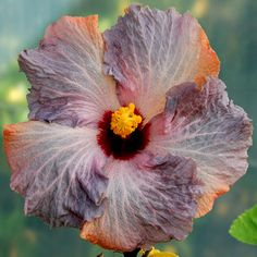 exotic hibiscus little boy blue little boy blue just like its name the ...