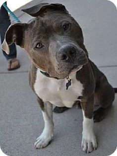 Dallas, GA - Pit Bull Terrier. Meet Jiggy, a dog for adoption. http://www.adoptapet.com/pet/10582722-dallas-georgia-pit-bull-terrier