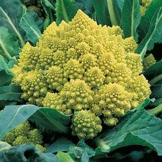 Broccolo 'Romanesco Natalino' Lång skördeperiod. Sen och storväxt. Frosttålig, men blir rödviolett om den sätts ut i för kall jord. Delikat smak. 20kr Impecta.