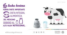 La leche bovina forma parte importante en la dieta integral alimenticia del mexicano debido al alto valor nutricional. SAGARPA SAGARPAMX #MéxicoAgroPotencia