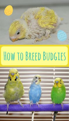 Looking to breed budgies at home? Its a lot easier than you might realize - but only when you have the basics covered. This excellent article talks you through the basics of breeding budgies so you can get started yourself. Diy Parakeet Cage, Parakeet Food, Parakeet Care, Budgie Parakeet, Budgies Care, Budgie Food, Cockatiel Care, Breeding Budgies, Baby Parakeets