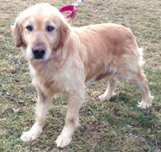 This is Janey - 7 yrs. She was an Amish puppy mill girl. She is spayed  current on vaccinations. Janey has not been socialized. She needs a patient  dedicated forever home willing to help her learn to live a normal life in a house as part of a fmaily. Golden Treasures Golden Retriever Rescue, Ohio. http://www.petfinder.com/petdetail/28772880/ - http://www.goldentreasuresrescue.org/adopt-a-golden.htm