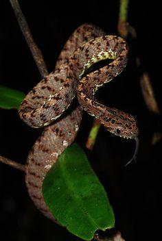 Jasper's cat snake (Boiga jaspidae) #snakes #reptiles #topanimals