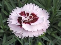 Dianthus Scent First™ Raspberry Surprise