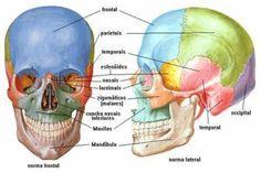 Ossos da cabeça Anatomy Bones, Head Anatomy, Anatomy Study, Anatomy Art, Anatomy Sketches, Human Skeleton Anatomy, Human Body Anatomy, Muscle Anatomy, Med Student