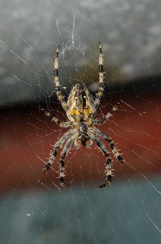 Crusader, spider #2