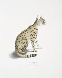 From the collection of from the collection of Major-General Hardwicke's illustrations of Indian Zoology, The Beautiful Cat.