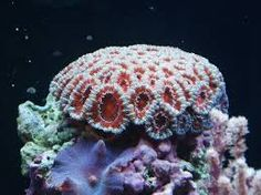 תוצאת תמונה עבור ‪corals‬‏ Sps Coral, Home History, Soft Corals, Marine Life, Nature Pictures, Sea Creatures, Under The Sea, Color Inspiration, Underwater