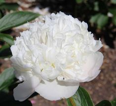 Avalanche - Herbaceous Peony/Paeonia