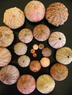Urchin shells at Charlesworth Bay, Australia by *omnia*