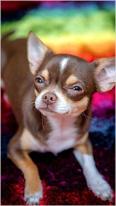 Effective Potty Training Chihuahua Consistency Is Key Ideas. Brilliant Potty Training Chihuahua Consistency Is Key Ideas. Chihuahua Love, Chihuahua Puppies, Cute Puppies, Cute Dogs, Dogs And Puppies, Chihuahuas, Doggies, Brown Chihuahua, Little Dogs
