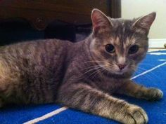 Lost Cat - Tabby - Unionville, ON, Canada L3R 1R1