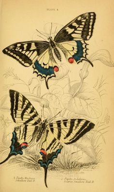 1840 - The natural history of British butterflies / by James Duncan.  Title Variants:British butterflies