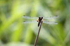 lauluni sadepäivän varalle: Sudenkorento