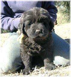 Newfoundland puppy :)