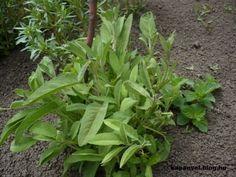 Kiskertünk védelme gyógynövényekkel - Kapanyél Celery, Vegetables, Garden, Plants, Google, Garten, Lawn And Garden, Vegetable Recipes, Gardens