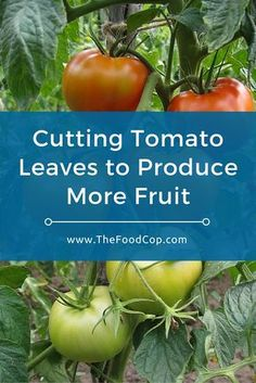 Cutting Tomato Leaves to Produce More Fruit | growing tomatoes | tomato plant | tomatoes via @thefoodcop