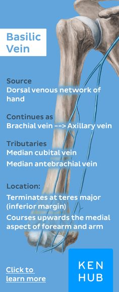 The basilic vein runs down the ulnar side of the arm, and also helps in draining the dorsal venous network of the hand. #veinfacts #anatomy