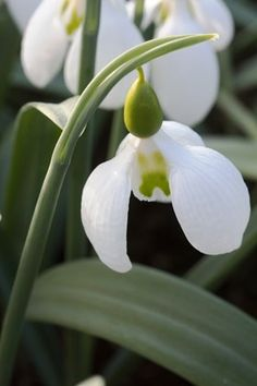 Galanthus Bubble