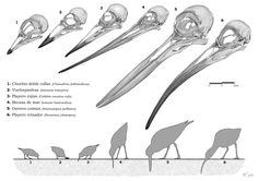 Scientific Illustration | phacopida:  A shorebirds day  Beautiful art, and...