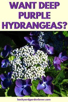 you ever been green with envy seeing your neighbor's deep purple hydrangea flowers? Don't worry: here's a quick and easy way to get your own deep purple hydrangeas (or pink, or blue, if one of those is your absolute favorite! Flower Garden, Plants, Deep Purple Hydrangea, Garden, Growing Hydrangeas, Hydrangea Purple, Plant Care, Garden Plants, Garden Care