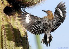 ...  Gila Woodpecker